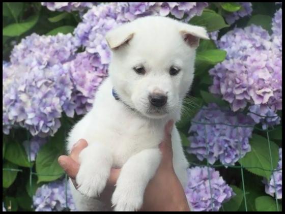 紀州犬/ Jedyny Kishu w Polsce (TV TOKYO)