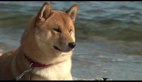ポーランドの犬事情と日本犬 (TV Tokyo)